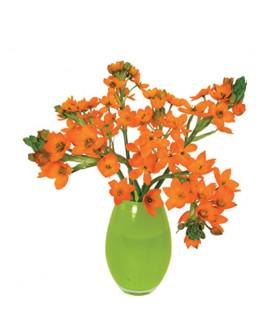 Flatflower L